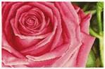 Kit point de croix rose mille feuilles de DMC