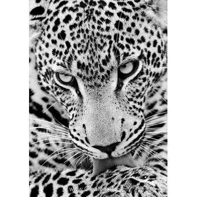 Kit broderie diamant léopard blanc - Collection d'art